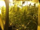 Marihuanapflanzen
