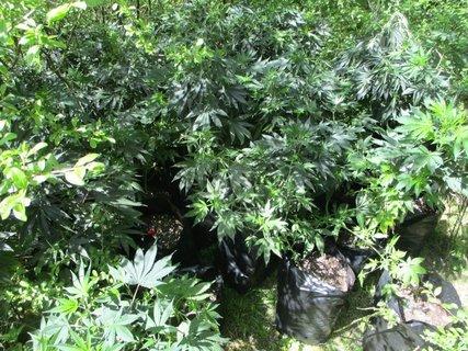Cannabispflanzen_Bedburg_Polizei.jpg