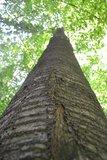 thumbnail - Riesige Bäume wie diese Vogelkirsche gaben dem Pfad seinen Namen.