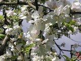 thumbnail - Blühende Apfelbäume entlang des Rundwanderwegs A11