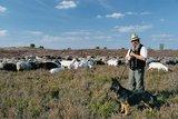 thumbnail - Schäfer mit seiner Herde in der Nemitzer Heide