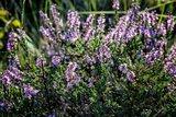 thumbnail - Lilablühende Heide