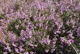 thumbnail - blühende Heide