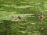 thumbnail - Neues Leben auf dem Teich - Enten