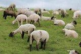 thumbnail - Schafe auf den Deichen
