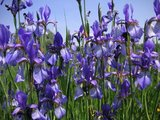thumbnail - Blühende Iris im Natur- und Vogelschutzgebiet am Südufer des Ammersees