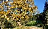 thumbnail - Ahorn im Herbst