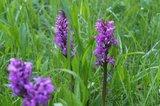 thumbnail - Seltene Pflanzen am Wegesrand