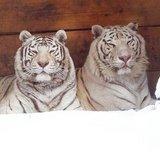 thumbnail - weiße Tiger im Zoo Aschersleben