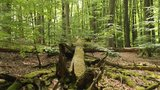 thumbnail - Buchen im UNESCO-Weltnaturerbe Serrahner Buchenwälder