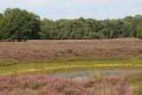 thumbnail - Ein violettes Farbenmeer