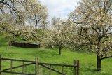 thumbnail - Kirschblüte in der Rühler Schweiz