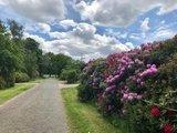thumbnail - Rhododendron am Wegesrand