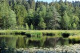 thumbnail - Seerosen am Waldsee
