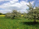 thumbnail - Apfelblüte