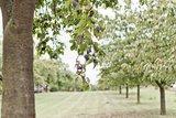 thumbnail - Zwetschgenbäume