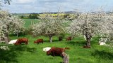 thumbnail - Glückliche Kühe Wildberg Berg
