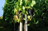 thumbnail - Weintrauben in den Weinbergen rund um Lorch