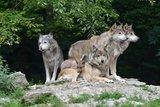 thumbnail - Wolfsrudel im Wildpark