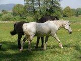 thumbnail - Pferdekoppel hinter Altenstadt/Elsass