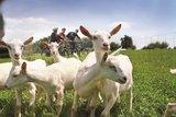 thumbnail - Ziegen am Radweg