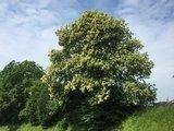 thumbnail - Blühender Baum