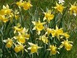 thumbnail - Narzissenblüte im Fuhrtsbachtal