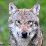 thumbnail - Wolf