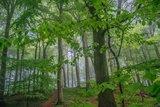 thumbnail - Die alten Buchenwälder im Nationalpark Jasmund stehen teilweise unter dem Schutz der UNESCO
