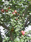 thumbnail - Äpfel bei Gustenfelden