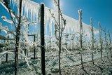 thumbnail - Weinberge in Eis