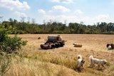 thumbnail - Die Schafe sind fleißige Helfer im Naturschutz