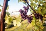 thumbnail - Reifer Wein in Pillnitz