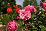 thumbnail - Rosen im Rosengarten Forst