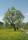 thumbnail - Wiese mit blühenden Obstbäumen