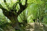 thumbnail - Kopfbuchen Aachener Wald