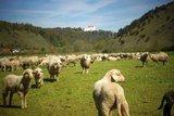thumbnail - Schafe beim Lintlberg in Riedenburg im Altmühltal