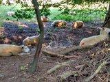 thumbnail - Schafe auf den Queichwiesen hinter Landau