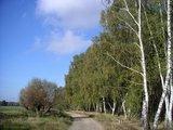 thumbnail - Der Weg führt an einem Wald mit vielen Birken entlang.