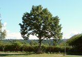 thumbnail - Baum mit Bildstock