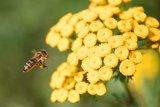 thumbnail - Biene auf Nektarsuche