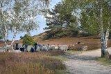 thumbnail - Nemitzer Heide und Heidschnucken