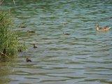 thumbnail - Marzling: Badeweiher Stoibermühle mit Entenfamilie