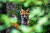 thumbnail - Fuchs im Wildpark Bilsteintal