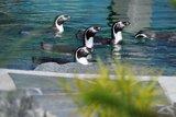 thumbnail - Pinguine