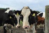 thumbnail - Kühe auf der Weide