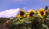 thumbnail - Burg Normannstein mit Sonnenblumen