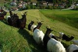 thumbnail - Ziegen im Obertal
