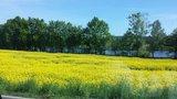 thumbnail - Blick vom Radweg auf die Elbe mit Rapsblüte