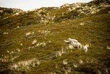 thumbnail - Schafe in den Lister Dünen